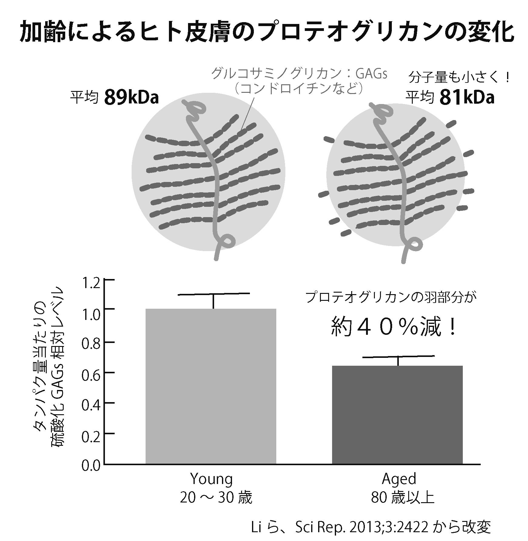 第4回 加齢で量も減りサイズも小さくなるプロテオグリカン